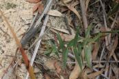 Young-eucalypt-growing-m-sand-on-dam-bank
