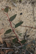 young-eucalypt-tree-growing-on-sand-dam-bank