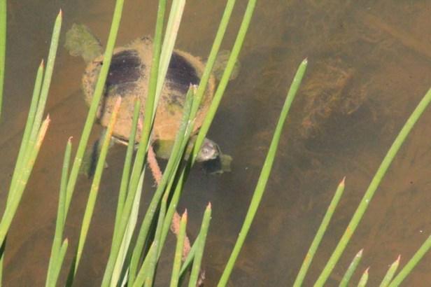 Turtle-in-Spike-rush