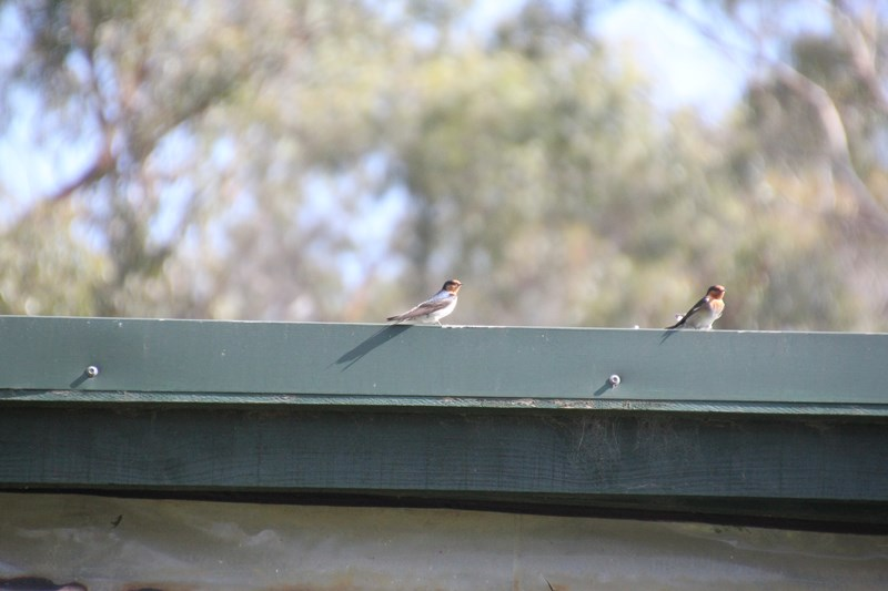 Two-Welcome-Swallows-on-house-gutter