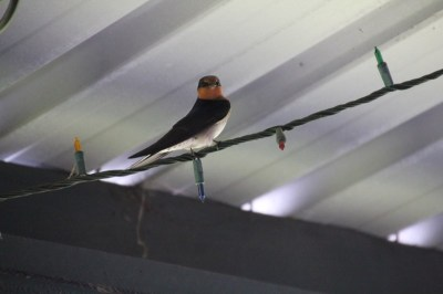 Welcome-Swallow-sitting-on-wire-beneath-tin-roof