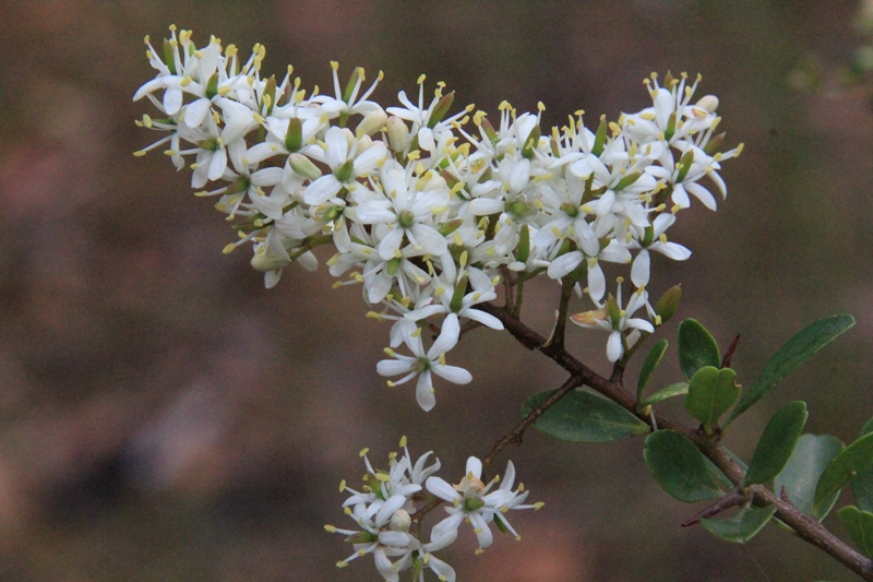 Boxthorn-flowers-close-up