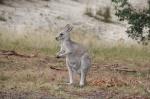 pale-furred-eastern-grey-kangaroo