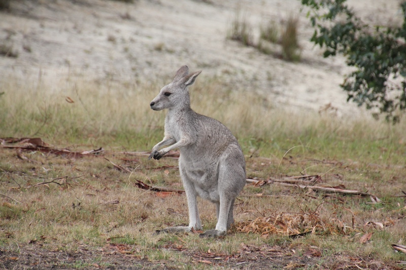 Colour Variation in Eastern Grey Kangaroos