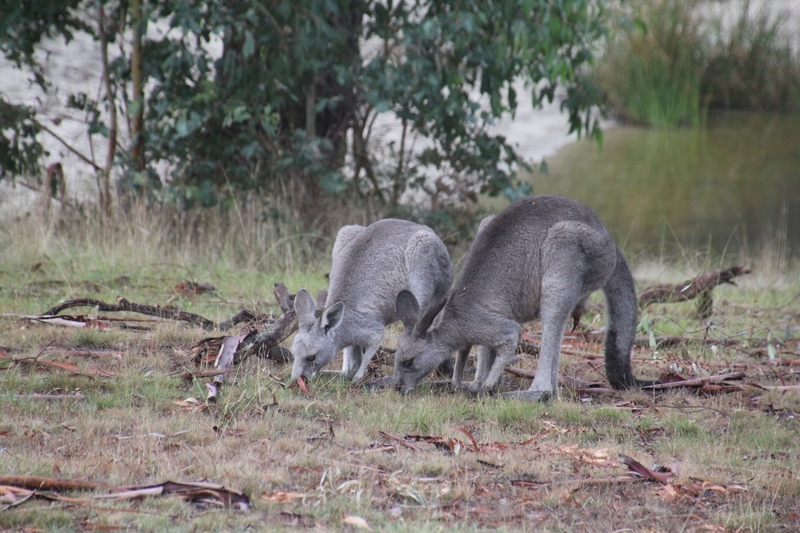 male-and female-eastern-grey-kangaroo