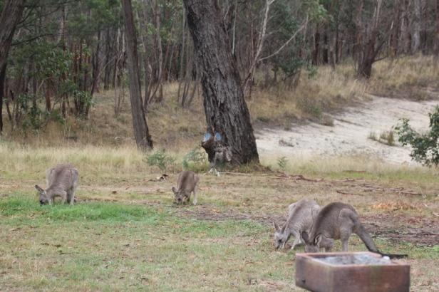 Four-Eastern-Grey-Kangaroos-grazing