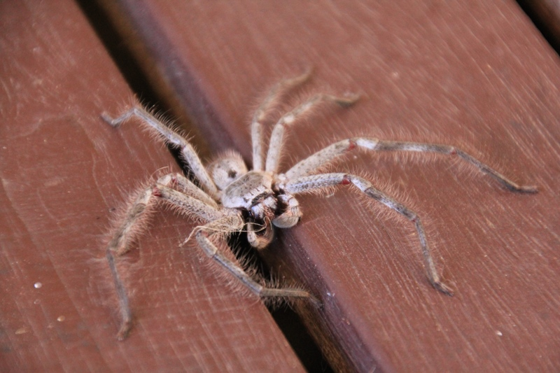 huntsman-spider-on-house-deck