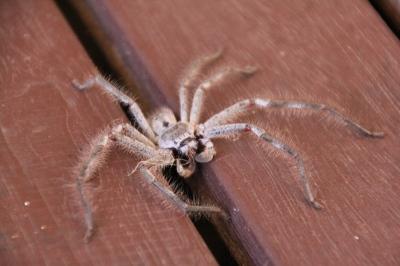 huntsman-spider-on-house-deck