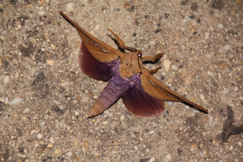 Beautiful-large-moth-with-purple-hind-wings