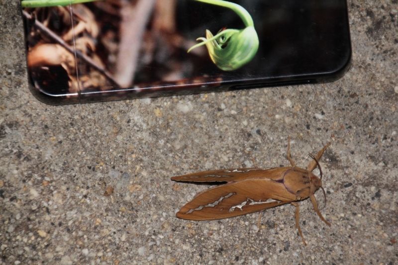 large-moth-with-iPone--for-scale