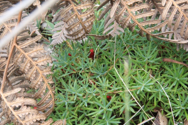 Cranberry-heath-growing-wild-with-red-flower-showing.
