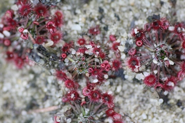 Tiny-Sundew-plants-growing-in-sand