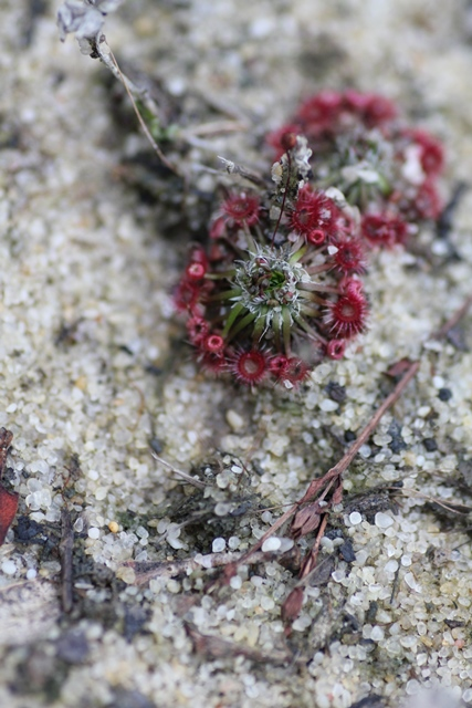 Tiny-sundew-plant-with-bud-about-to-open