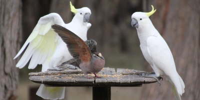 Common-Bronzewing-Pigeon-and-Sulphur-Crested-Cockatoo-showing-underside-of wings