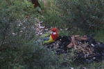 eastern-rosella-investigating-native-plant-garden