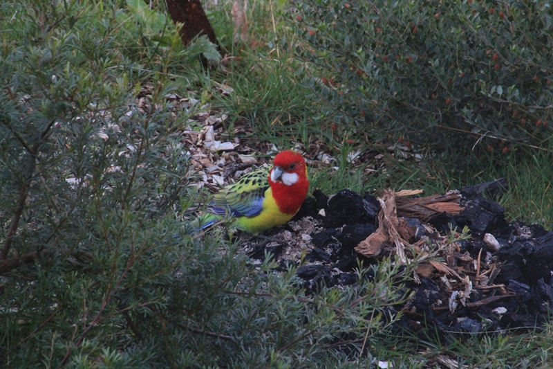 Eastern Rosella: A closer look