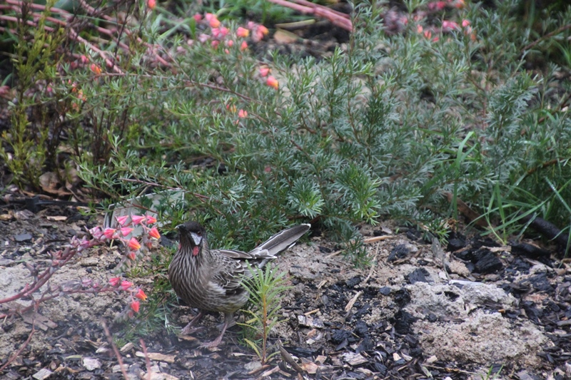 Red-wattlebird-feeding-from-succulent-lowers