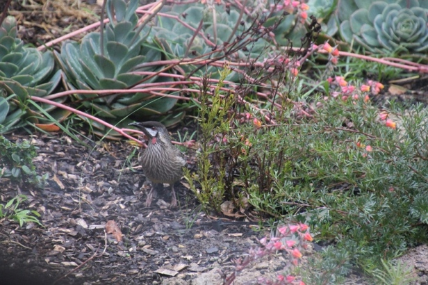 Red-wattlebird-with-succulent -flowers
