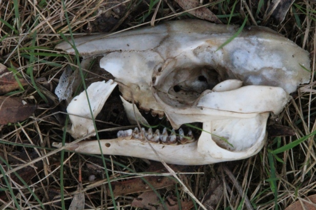 unidentified-skull-laying-on-ground