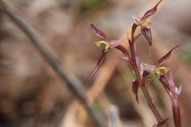 Small-mosquito-orchid-flowers-open-at different-angles
