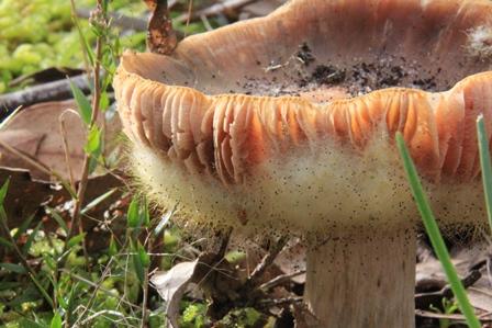 Unidentified-fungi-in-central-victoria