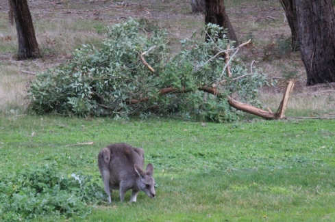 kangaroo-grazes-in-front-of-fallen-branch