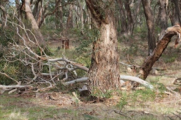 fallen-branch-behind-large-tree-trunk