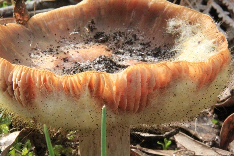 fuzzy-fungus-growing-on-salmon-coloured-toadstool.