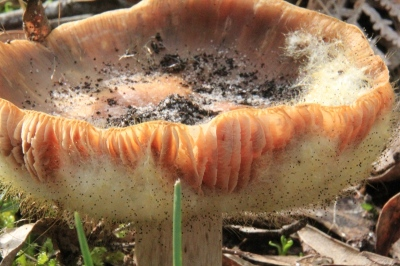 fuzzy-fungus-growing-on-salmon-coloured-toadstool.