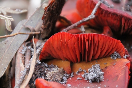 red-fungi-showing-flukes