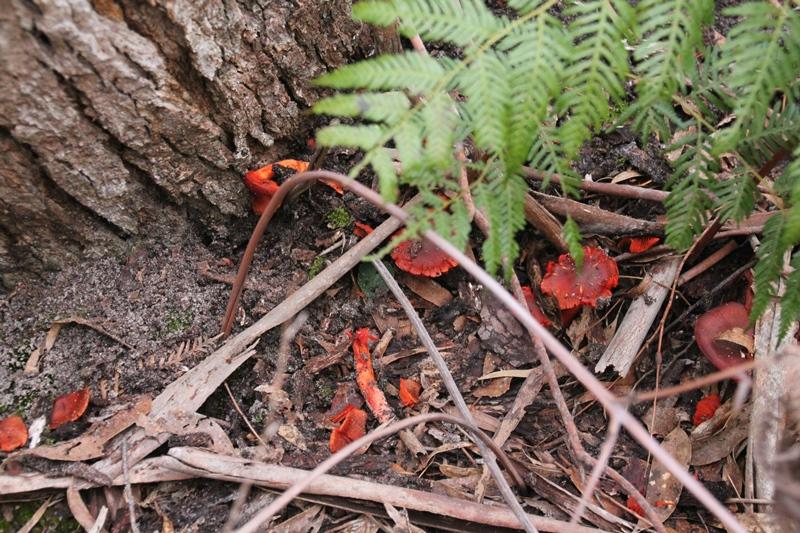 red-fungi-growing-at-base-of-a-tree