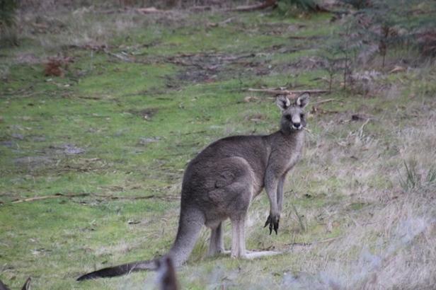 alpha-male-kangaroo