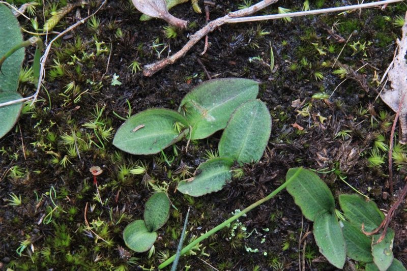bird-orchid-leaves-on-earth
