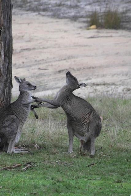 Male-kangaroo-displaying-mating-behaviour
