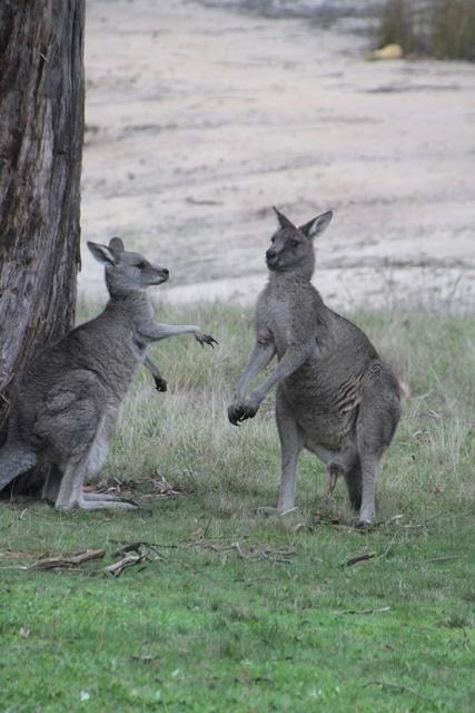 Female-kangaroo-displaying-mating-behaviour.