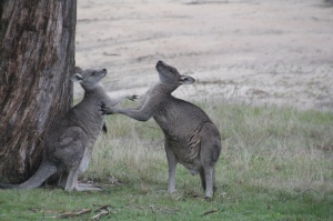 male-and-female-kangaroo-displaying-mating-behaviour