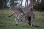 male-and-female-eastern-grey-kangaroo