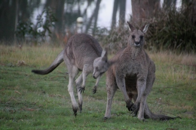 male-and-female-eastern-grey-kangaroo
