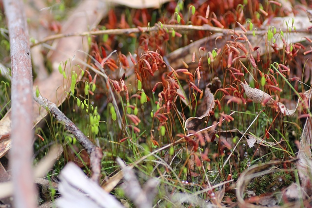 tiny-flowering-moss-with-red-and-green