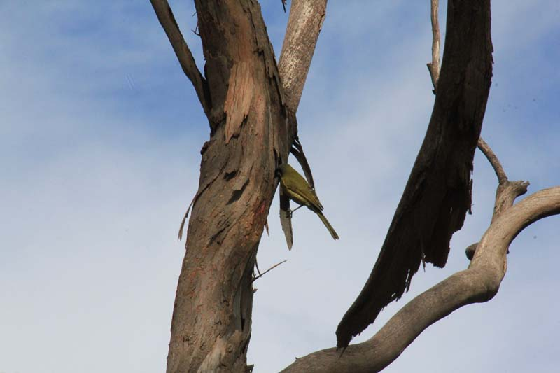 White-EAred-Honeyeater-searching-for-insects-beneath-bark
