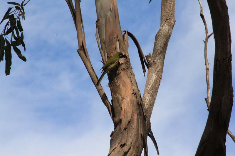 White-Eared-Honeyeater-searching--for-food-in-tree-bark