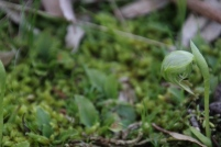 Nodding-greenhood-in-a-patch-of-moss