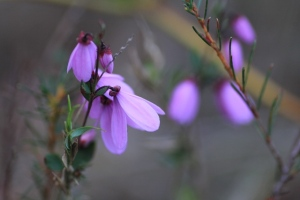 Pink-Bells-Flowers-macro-photo