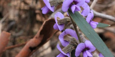 purple-pea-flower-common-hovea