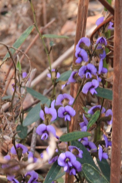 purple-flowering-common-hovea-plant