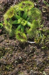 Leaf-rosette-Drosera-
