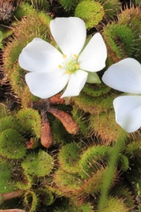 Scented sundew plants in flower