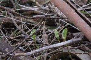 trio-of-striped-greenhoods