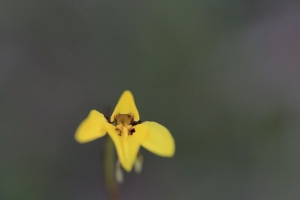golden-moth-orchid-showing-detail-of-callus