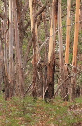 tree-trunks-in-bush-with-bark-strips-hanging-